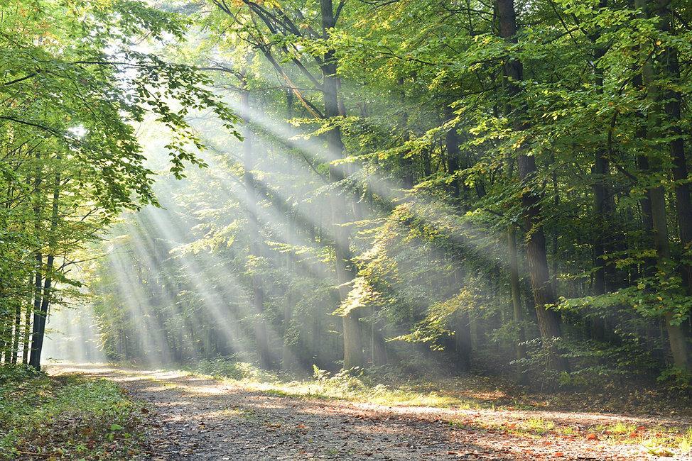 Grüner Buchenwald mit einfallenden Sonnenstrahlen