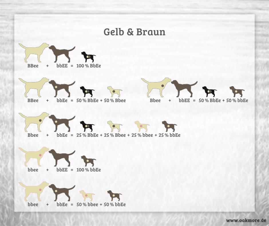 Die Farbvererbung beim Labrador – Gelb & Braun