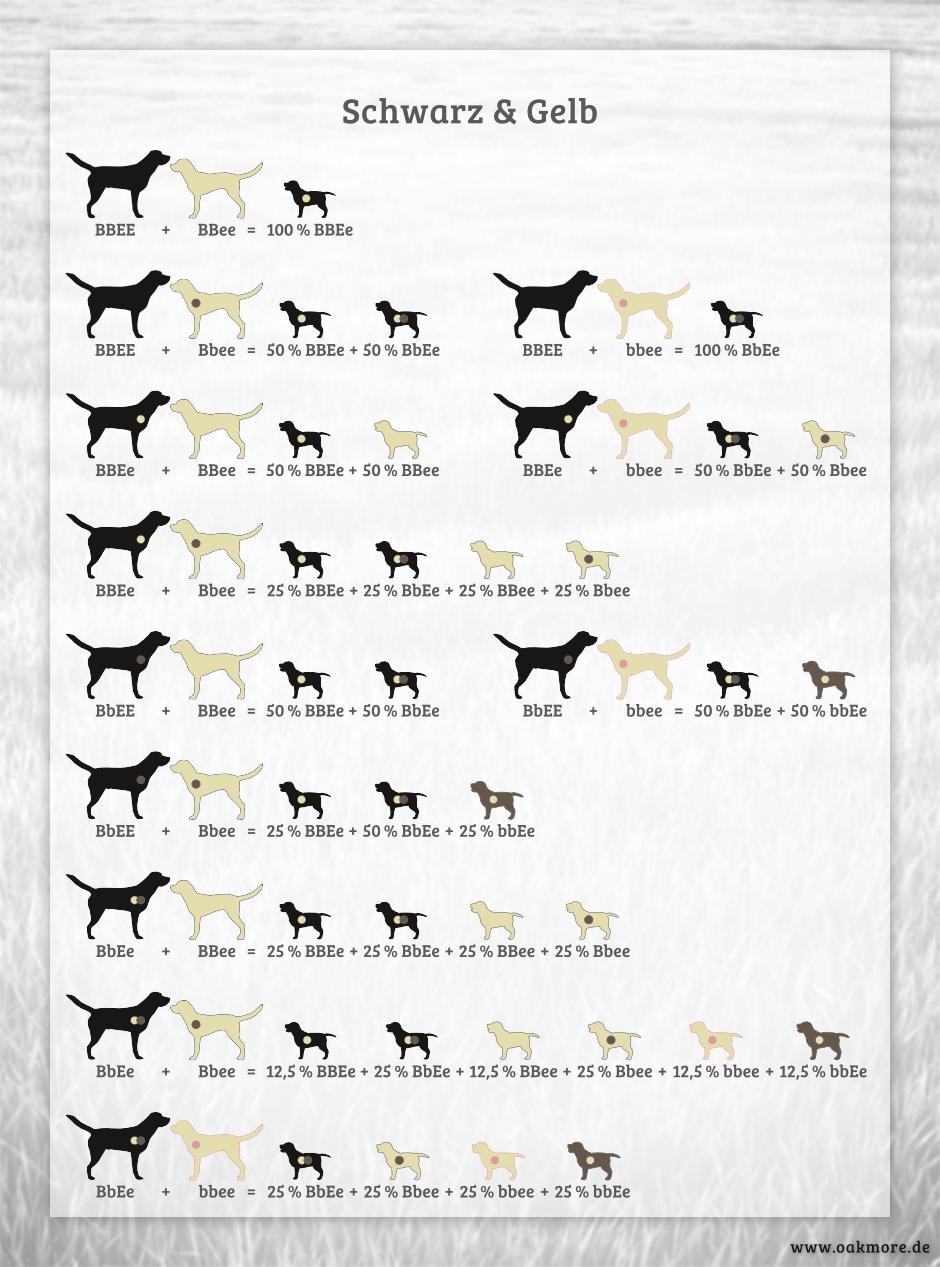 Die Farbvererbung beim Labrador – Schwarz & Gelb