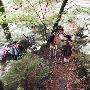 Randonnée en forêt avec les ânes