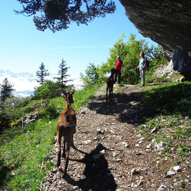 Et pourquoi ne pas tenter une randonnée avec les chèvres Alpines ?