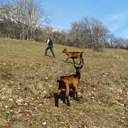 Randonnées avec les chèvres