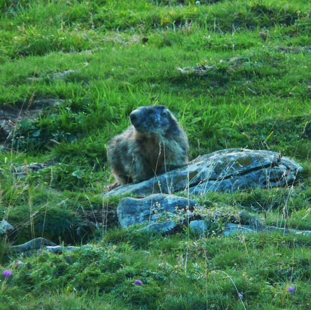 Observation des marmottes