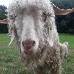 Chèvre mohair