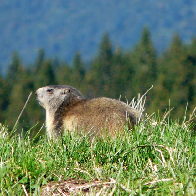 ... et les marmottes