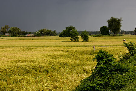 Rice and Trees storm.jpg
