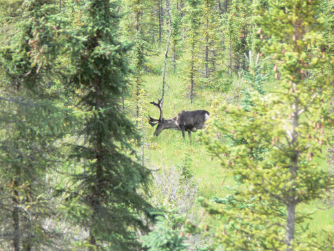 Caribou in the Flats