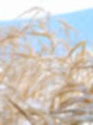 Grasses of Winter.jpg