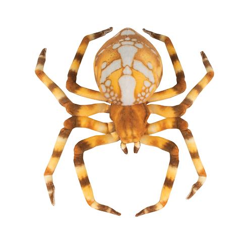 Spider-Brown