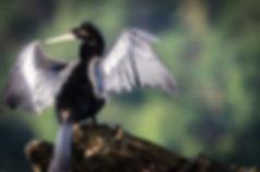 Darter Heron Costa Rica