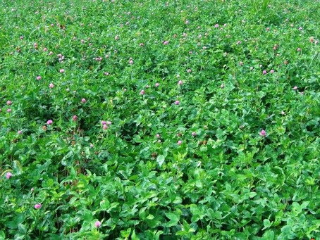 Using Red Clover In Wheat To Increase Corn Yields