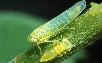 Potato Leafhopper In Alfalfa