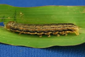 Armyworm in Forage Grasses