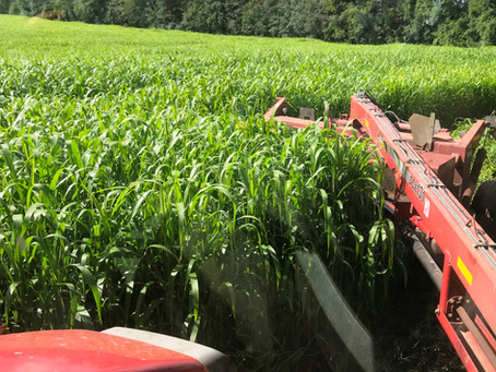Prussic Acid Risk From Frost With Sorghum & Sudangrass