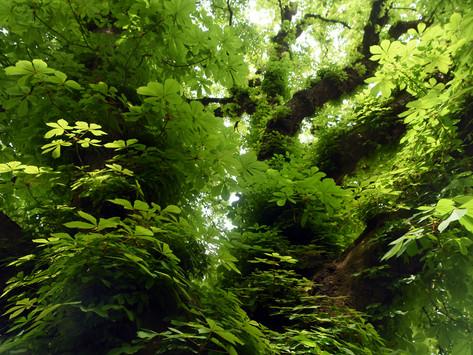 05_PCST_1600x1200-_Chestnut_tree_Wallpap