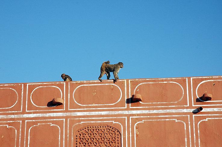 7  Monkeys - Jaipur, Rajasthan   © Louis Divine 2017