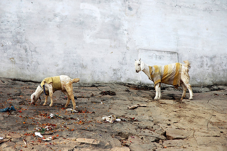 10  Two goats - Varanasi, Uttar Pradesh   © Louis Divine 2017