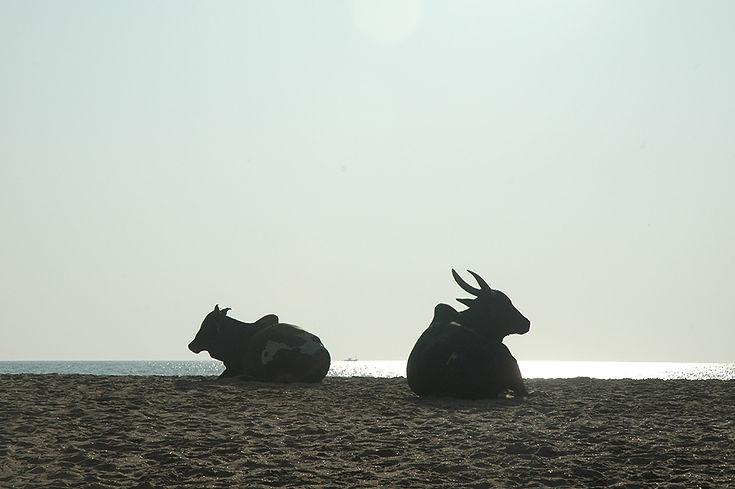 23  Cows on the beach, ship at sea - Patnem Beach, Goa   © Louis Divine 2017