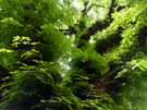 03_PCST_1024x768-_Chestnut_tree_Wallpape