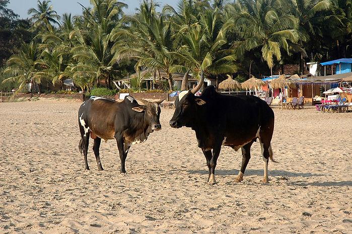 2   Cows on Patnem Beach, Goa   © Louis Divine 2017  