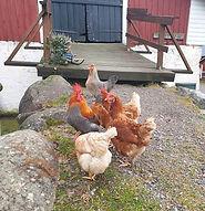 Tilan-väki-kanat.jpg