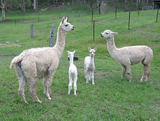 Two suri alpacas, Biscuit and Rayna, with their cria, Bina and Rayne