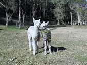 Two young suri alpacas playing