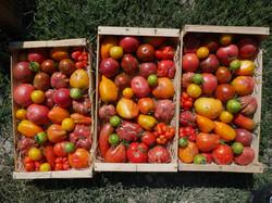 Les tomates anciennes