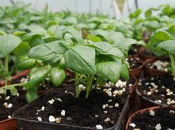 plants basilic