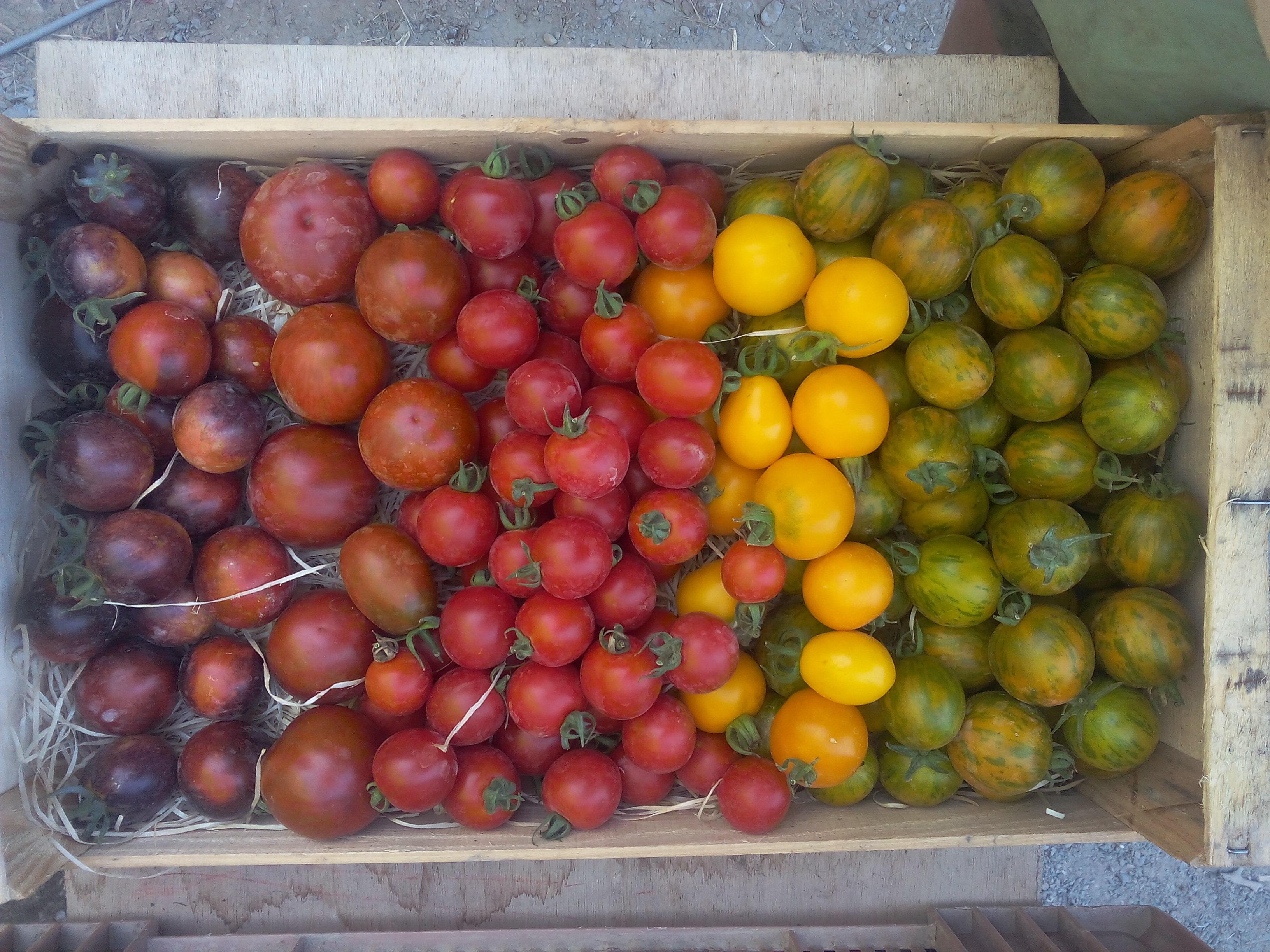 tomates coktail