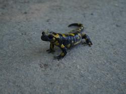 Salamandre tâchetée à la ferme