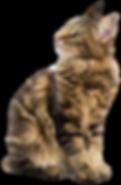maine_coon_png_by_lg_design-d50tzcr.png