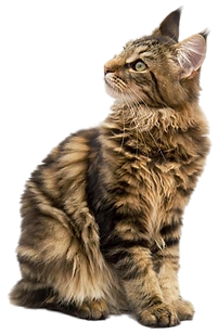 maine_coon_png_by_lg_design-d50tzcr.png