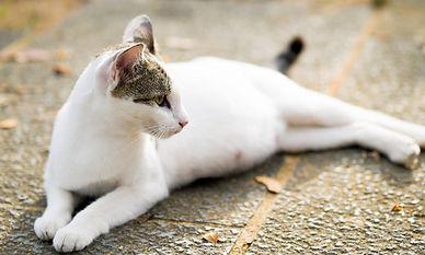 pregnant_cat.jpg