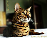 Bengal Kittens for Sale in Oregon