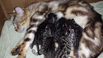 bengal kittens in oregon