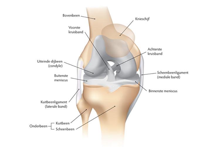 Anatomie Knie