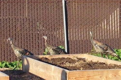 Turkeys visiting the chickens
