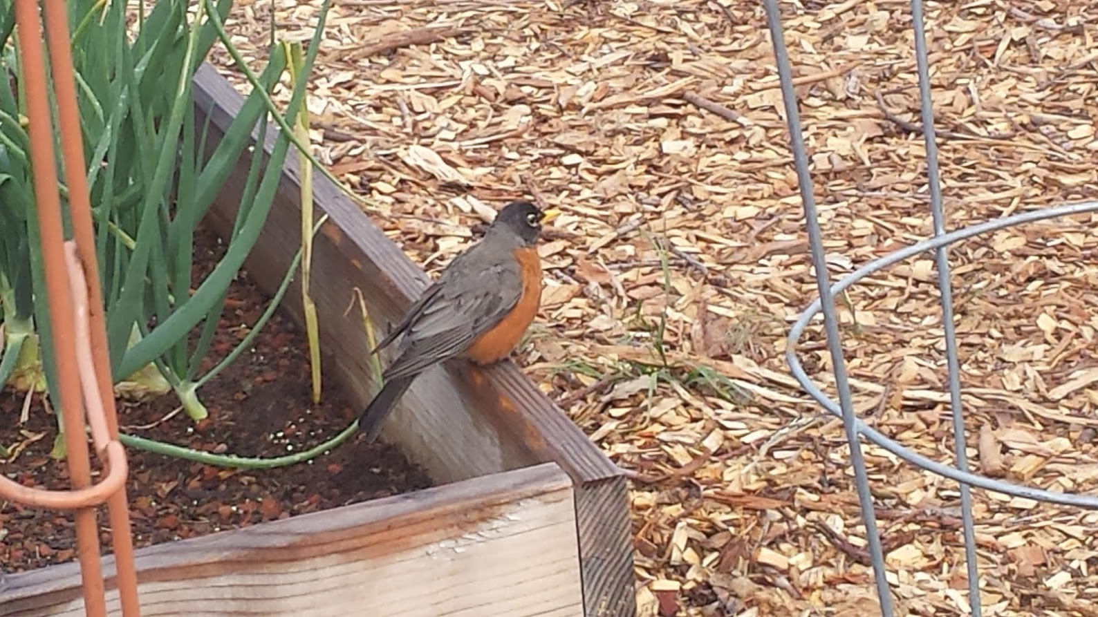Marcia's Robin Friend