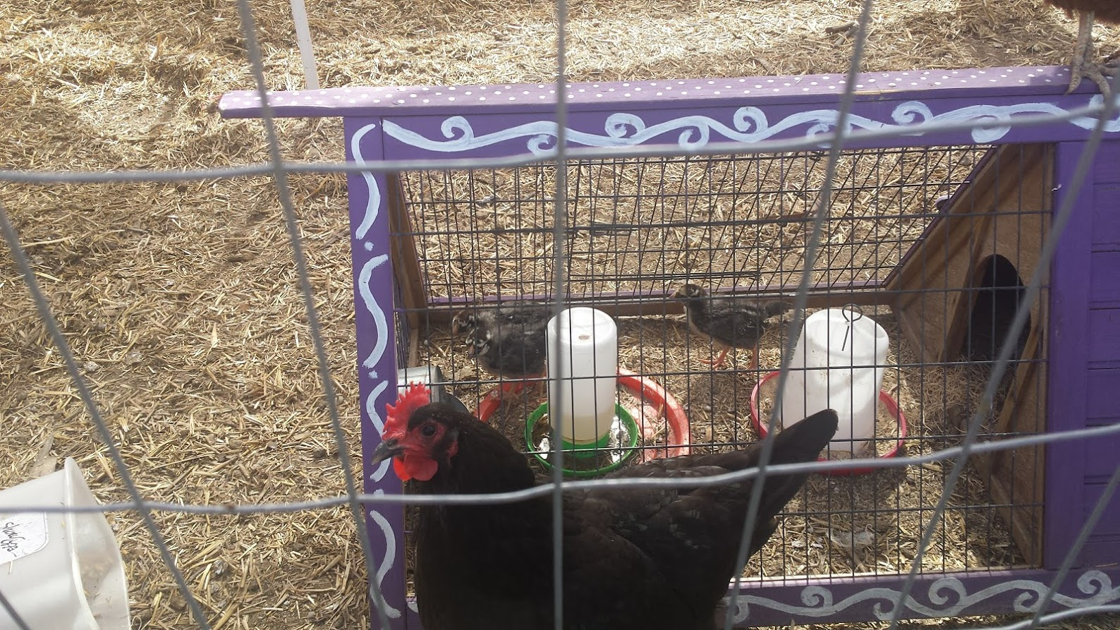 We have chickens!