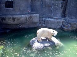 oso polar5