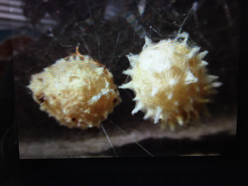 Black widow spider egg sac from Google images.