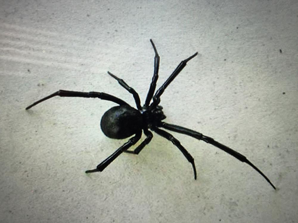 Black widow spider photo taken from Google images.
