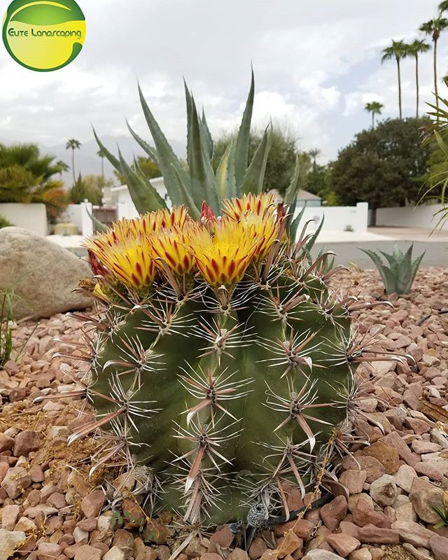 Blooming in the summer 😲 _#elitelandscaping #palmsprings #palmspringviews #barrell #blooms #cacti