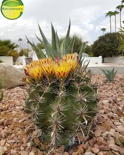 Blooming in the summer 😲 _#elitelandscaping #palmsprings #palmspringviews #barrell #blooms #cacti