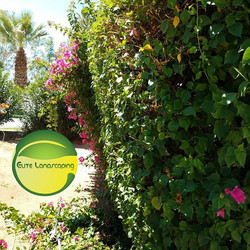 Bugainvillas got trimmed today at one of my accounts in palm desert today swipe for the rest of the