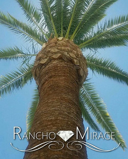 Canary Palm all trimmed up brace yourself Palm tree season is among us #elitelandscaping #landscapin