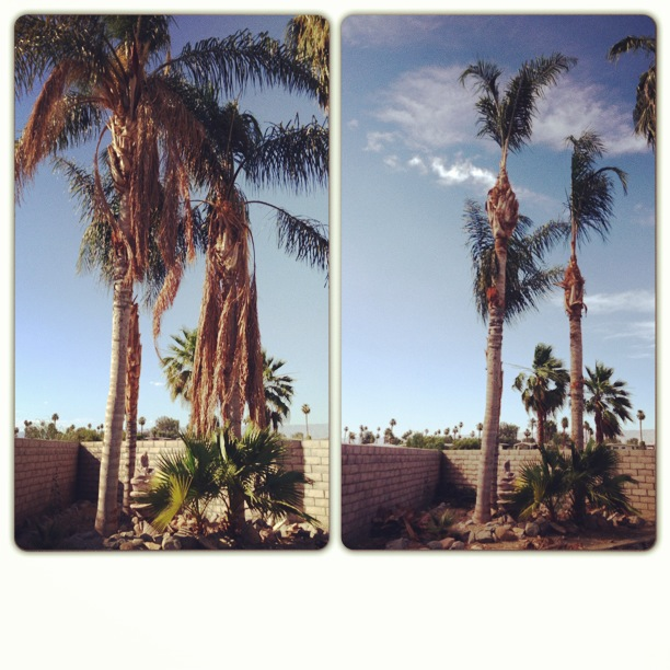 queen palms before and after pics