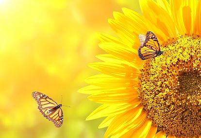 Sunflower and monarch butterflies (Danau