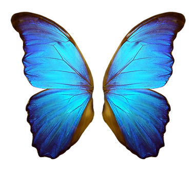 Wings of a butterfly Morpho. Morpho butterfly wings isolated on a white background._edited